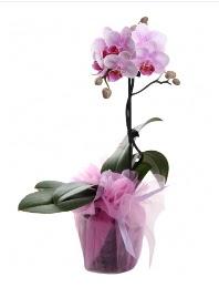 1 dal pembe orkide saksı çiçeği  İzmit çiçekçi mağazası