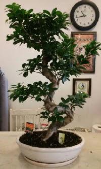 100 cm yüksekliğinde dev bonsai japon ağacı  İzmit çiçek siparişi vermek