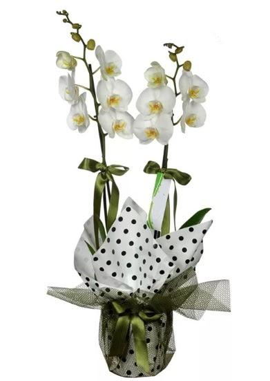 Çift Dallı Beyaz Orkide  İzmit çiçek gönderme