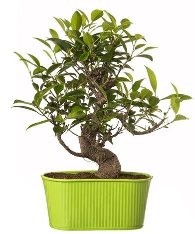 Ficus S gövdeli muhteşem bonsai  İzmit çiçek mağazası , çiçekçi adresleri