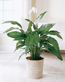 İzmit çiçek yolla , çiçek gönder , çiçekçi   spatilyum ithal büyük boy