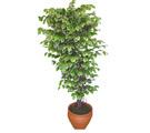 Ficus özel Starlight 1,75 cm   İzmit İnternetten çiçek siparişi