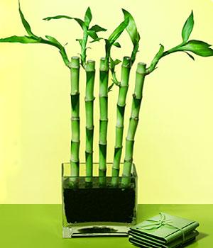 İzmit çiçekçi telefonları  Good Harmony Lucky Bamboo camda