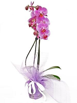 İzmit çiçekçi telefonları  Kaliteli ithal saksida orkide