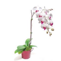 İzmit cicekciler , cicek siparisi  Saksida orkide