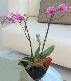 İzmit çiçek servisi , çiçekçi adresleri  tek dal ikili orkide saksi çiçegi