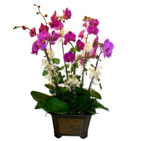 İzmit İnternetten çiçek siparişi  4 adet orkide çiçegi
