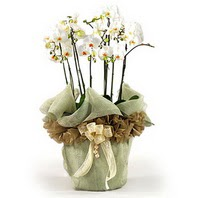 İzmit çiçek mağazası , çiçekçi adresleri  3 dal orkide , saksi çiçegi , 3 kök orkide