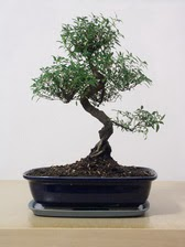 ithal bonsai saksi çiçegi  İzmit online çiçekçi , çiçek siparişi