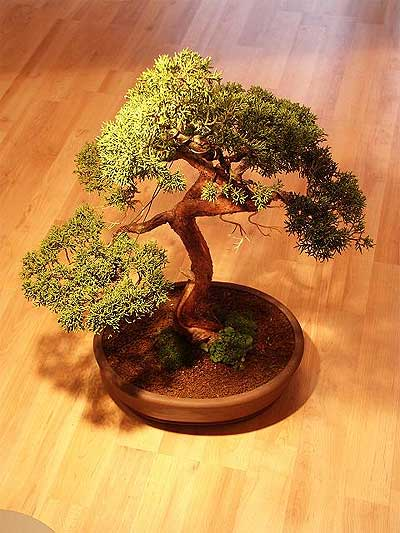 ithal bonsai saksi çiçegi  İzmit hediye çiçek yolla
