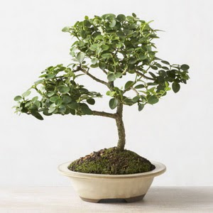 ithal bonsai saksi çiçegi  İzmit çiçek , çiçekçi , çiçekçilik