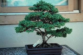 ithal bonsai saksi çiçegi  İzmit çiçek gönderme