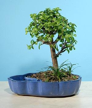 ithal bonsai saksi çiçegi  İzmit güvenli kaliteli hızlı çiçek