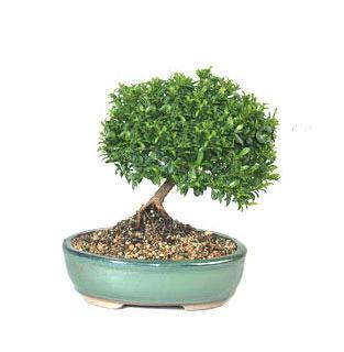 ithal bonsai saksi çiçegi  İzmit çiçek gönderme sitemiz güvenlidir