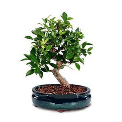 ithal bonsai saksi çiçegi  İzmit çiçek mağazası , çiçekçi adresleri