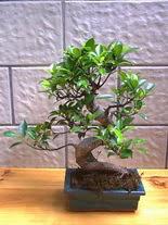 ithal bonsai saksi çiçegi  İzmit çiçek satışı