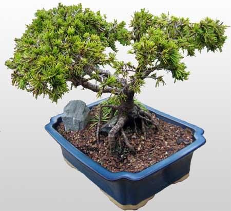 ithal bonsai saksi çiçegi  İzmit çiçek servisi , çiçekçi adresleri