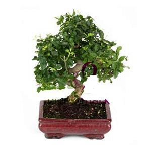ithal bonsai saksi çiçegi  İzmit çiçekçi telefonları