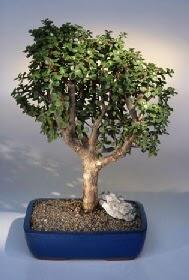 İzmit cicekciler , cicek siparisi  ithal bonsai saksi çiçegi  İzmit güvenli kaliteli hızlı çiçek