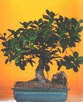 İzmit uluslararası çiçek gönderme  ithal bonsai saksi çiçegi  İzmit yurtiçi ve yurtdışı çiçek siparişi