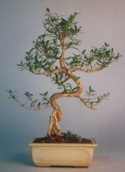 İzmit 14 şubat sevgililer günü çiçek  ithal bonsai saksi çiçegi  İzmit online çiçekçi , çiçek siparişi