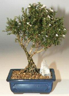 İzmit anneler günü çiçek yolla  ithal bonsai saksi çiçegi  İzmit çiçek yolla , çiçek gönder , çiçekçi