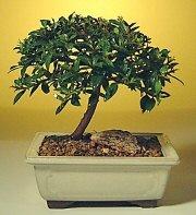 İzmit hediye sevgilime hediye çiçek  ithal bonsai saksi çiçegi  İzmit İnternetten çiçek siparişi