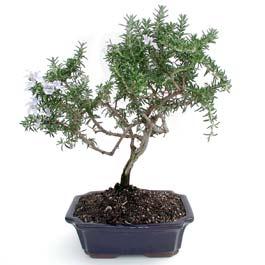 ithal bonsai saksi çiçegi  İzmit uluslararası çiçek gönderme