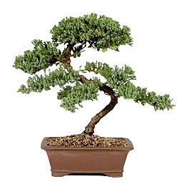 ithal bonsai saksi çiçegi  İzmit online çiçek gönderme sipariş