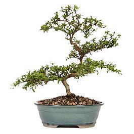 İzmit çiçek siparişi vermek  ithal bonsai saksi çiçegi  İzmit online çiçek gönderme sipariş