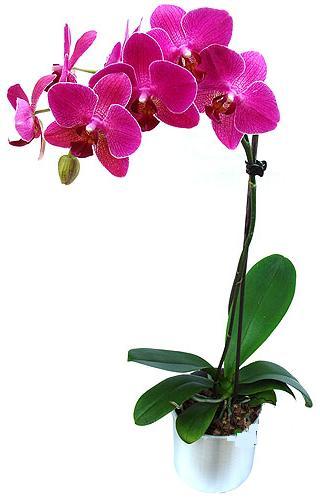 İzmit çiçek servisi , çiçekçi adresleri  saksi orkide çiçegi