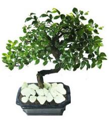 9 yasinda Bonsai agaci  İzmit internetten çiçek satışı