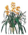 İzmit güvenli kaliteli hızlı çiçek  Orchiede ithal büyük boy saksi