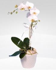 1 dallı orkide saksı çiçeği  İzmit çiçekçiler