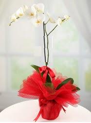 1 dal beyaz orkide saksı çiçeği  İzmit internetten çiçek satışı