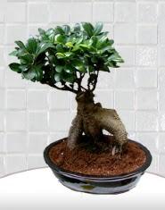 saksı çiçeği japon ağacı bonsai  İzmit çiçekçi mağazası
