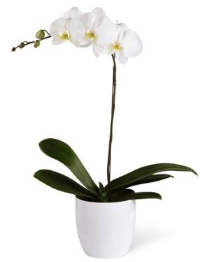 1 dallı beyaz orkide  İzmit çiçek gönderme