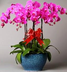 7 dallı mor orkide  İzmit çiçek , çiçekçi , çiçekçilik