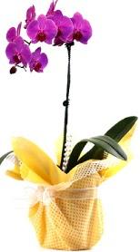 İzmit çiçek mağazası , çiçekçi adresleri  Tek dal mor orkide saksı çiçeği
