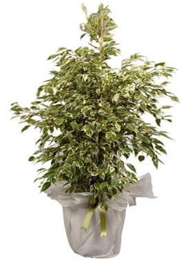 Orta boy alaca benjamin bitkisi  İzmit kaliteli taze ve ucuz çiçekler