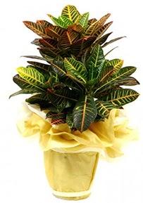Orta boy kraton saksı çiçeği  İzmit çiçek gönderme