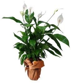 Orta boy barış çiçeği limon çiçeği  İzmit yurtiçi ve yurtdışı çiçek siparişi