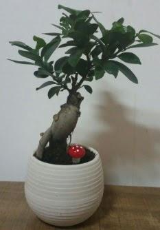 Bonsai japon ağacı saksı çiçeği  İzmit online çiçek gönderme sipariş