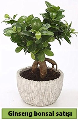 Ginseng bonsai japon ağacı satışı  İzmit uluslararası çiçek gönderme