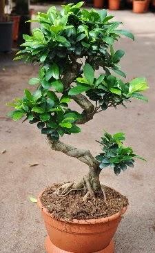 Orta boy bonsai saksı bitkisi  İzmit yurtiçi ve yurtdışı çiçek siparişi