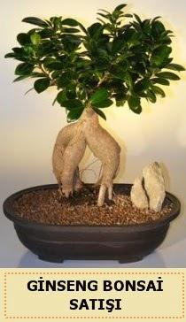 İthal Ginseng bonsai satışı japon ağacı  İzmit çiçek mağazası , çiçekçi adresleri