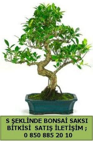 İthal S şeklinde dal eğriliği bonsai satışı  İzmit cicekciler , cicek siparisi