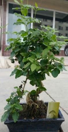 Bonsai japon ağacı saksı bitkisi  İzmit online çiçekçi , çiçek siparişi
