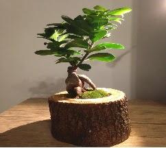 Doğal kütükte Bonsai japon ağacı satışı  İzmit kaliteli taze ve ucuz çiçekler