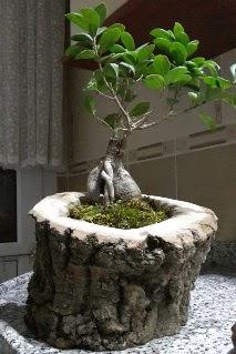 Ahşap kütük içerisinde ginseng bonsai  İzmit yurtiçi ve yurtdışı çiçek siparişi
